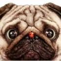Pug Adoption Event