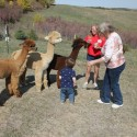 Alpacas of the Heartland LLCAlpacas being fed at the Open House