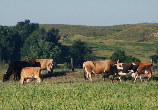 Clear Creek Organic Cattle