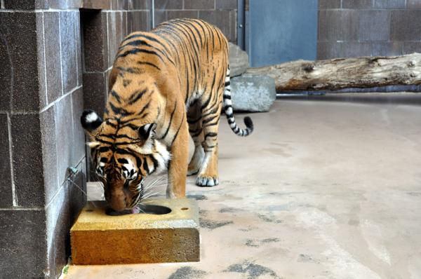 Doorly Zoo Tiger
