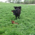 A cow watches over her new calf who's buried deep in the spring clover.