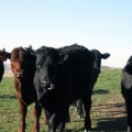 Some of our grass-fed/grass-finishing calves in late fall