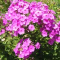 beautiful Phlox at Gifford Park