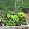 One of our 7 raised beds: watermelon (out the back side), tomatoes (on trellis), lettuce, bell peppers, jalapeno, radish