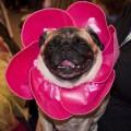 A pug flower