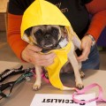 A cute pug with a raincoat