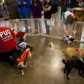 The adopt-a-pug corral