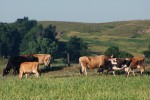 clear creek organic cattle enjoying a new paddock in the beautiful cedar river v