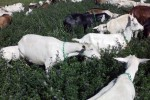 Goats grazing at ShadowBrook Farm