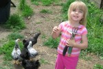 Etta enjoying the pullets on one of their first days in the yard