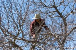 Man pruning in a tree