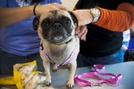 A pug gets fitted for a new leash from Mazzy Co