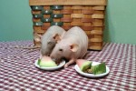 Two Dumbo Hairless Rex Rats eating watermelon