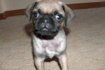Pug puppy Rocky at 8 weeks
