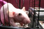 Wuzzy - a Hairless Dumbo Rex Rat