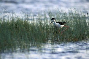 Black-necked Stilts wander and feed in a wetland near Lakeside, Sheridan: NEBRASKAland Magazine/Nebraska Game and Parks Commission