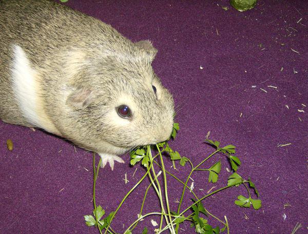 Dottie the Guinea Pig