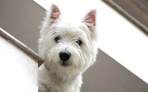 NHS White Dog