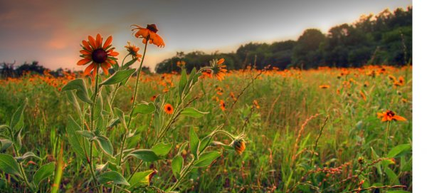 Prairie Restoration: photo by bobdog Dan