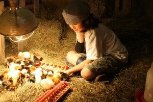 Sam with baby chicks at Black Sheep Farms