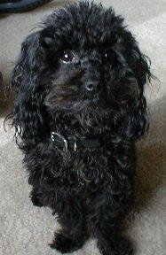 Ernie Nelson - a teacup poodle